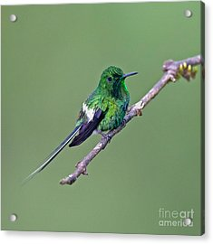 Green Thorntail Acrylic Print by Jean-Luc Baron
