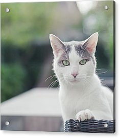 Grey And White Cat Acrylic Print by Cindy Prins