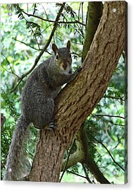 Grey Squirrel Acrylic Print by Sharon Lisa Clarke