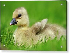Greylag Goose Anser Anser Gosling Acrylic Print by Cyril Ruoso