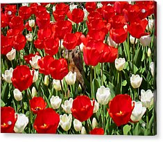 Groundhog Day - A Curious Marmot Peeking Through Luminous Red And White Spring Tulips On A Sunny Day Acrylic Print by Chantal PhotoPix