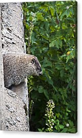 Groundhog Day Acrylic Print by Bill Cannon