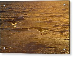 Gulls Searching For A Meal Acrylic Print by Tim Grams