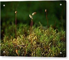 Haircap Moss Acrylic Print by Jouko Lehto