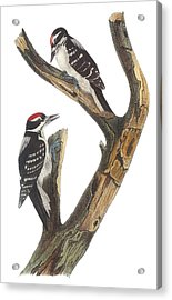 Hairy Woodpecker Acrylic Print by John James Audubon