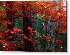 Hairy Woodpecker Acrylic Print by Ron Jones