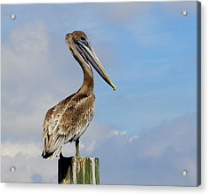 Handsome Brown Pelican Acrylic Print by Judy Wanamaker