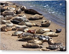 Harbor Seals Sunbathing On The Beach . 40d7553 Acrylic Print by Wingsdomain Art and Photography