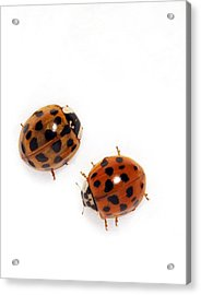 Harlequin Ladybirds Acrylic Print by Sheila Terry