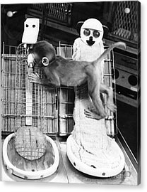 Harlows Monkey Experiment Acrylic Print by Photo Researchers, Inc.