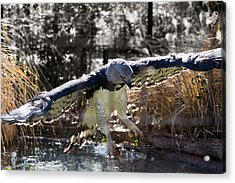 Harpy Eagle In Flight Acrylic Print by Lindy Spencer