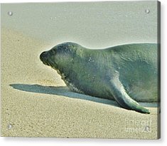 Hawaiian Monk Seal Acrylic Print by Craig Wood