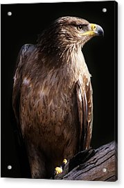 Hawk Acrylic Print by Paulette Thomas