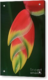 Heliconia Rostrata - Hanging Heliconia Acrylic Print by Sharon Mau