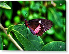 Hello Flutterby Acrylic Print by Randy Aveille