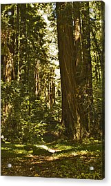 Henry Cowell Redwoods Late Summer Afternoon Acrylic Print by Larry Darnell
