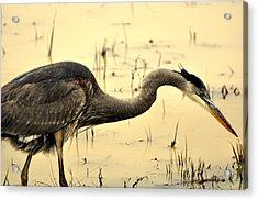 Heron Fishing Acrylic Print by Marty Koch