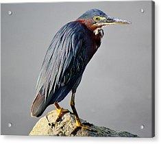 Heron In The Marsh Acrylic Print by Paulette Thomas