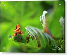 Hiding Comma Butterfly Acrylic Print by Clare Scott