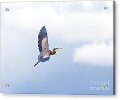 High Flying Blue Heron  Acrylic Print by John  Kolenberg