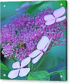 Honeybee On Pink Lace Acrylic Print by Becky Lodes