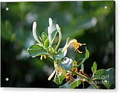 Honeysuckle Acrylic Print by Theresa Willingham