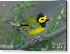 Hooded Warbler Acrylic Print by Clarence Holmes