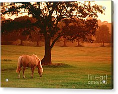 Horse Acrylic Print by Carl Purcell and Photo Researchers
