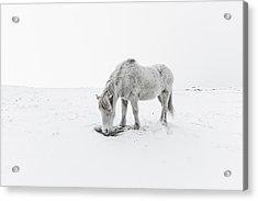 Horse Grazing In Snow Acrylic Print by Ingólfur Bjargmundsson