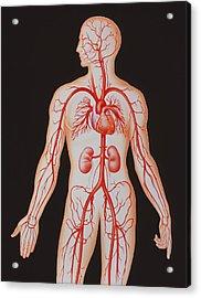 Human Arterial System Acrylic Print by John Bavosi