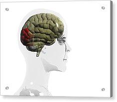 Human Brain, Occipital Lobe Acrylic Print by Christian Darkin