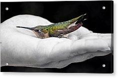 Hummingbird Rescue Acrylic Print by Bill Tiepelman