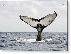 Humpback Whale Tail Acrylic Print by Photography by Jessie Reeder