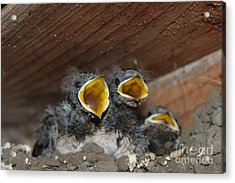 Hungry Birds  Picture Acrylic Print by Preda Bianca