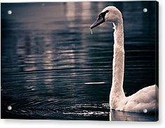 Hungry Swan Acrylic Print by Justin Albrecht