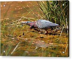 Hunting Green Heron - C9822b Acrylic Print by Paul Lyndon Phillips