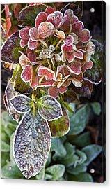 Hydrangea Sp Acrylic Print by Dr Keith Wheeler