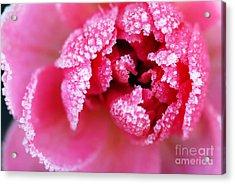Icy Rose Acrylic Print by Elena Elisseeva