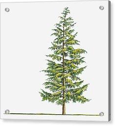 Illustration Of Large Evergreen Tsuga Heterophylla (western Hemlock) Tree Acrylic Print by Sue Oldfield