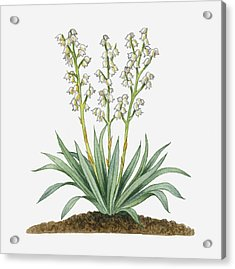 Illustration Of Yucca Baccata (datil Yucca, Banana Yucca) Bearing White Hanging Flowers On Long Stems With Long Green Leaves Acrylic Print by Michelle Ross