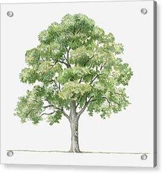 Illustration Showing Shape Of Quercus Ilex (holm Oak) Tree Bearing Green Foliage Acrylic Print by Dorling Kindersley