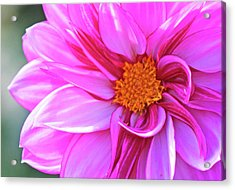 In Love With Pink Acrylic Print by Becky Lodes