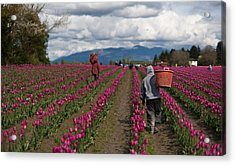In The Tulip Fields Acrylic Print by Mike Reid