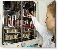 Incubating Bacteria Acrylic Print by Tek Image