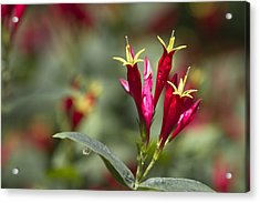 Indian Pink - Spigelia Marilandica - Firecracker Wildflowers Acrylic Print by Kathy Clark