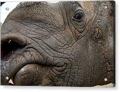 Indian Rhinoceros Rhinocerus Unicornis Acrylic Print by Joel Sartore
