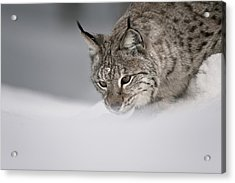 Intent To Cause.. Acrylic Print by Andy Astbury