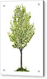 Isolated Flowering Pear Tree Acrylic Print by Elena Elisseeva