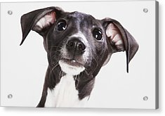 Italian Greyhound Puppy Spruce Grove Acrylic Print by Leah Bignell