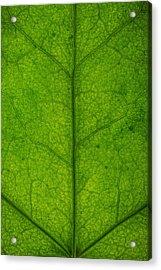 Ivy Leaf Acrylic Print by Steve Gadomski